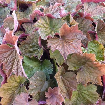 Heuchera 'Brownies' -