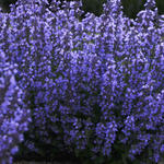 Kattekruid - Nepeta 'Cat's Pajamas'