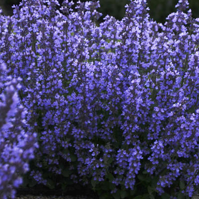 Nepeta 'Cat's Pajamas' -
