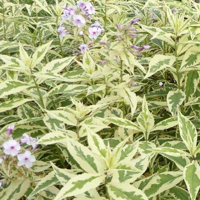 Phlox paniculata 'Norah Leigh' -