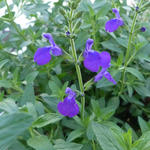 Salvia microphylla 'Blue Monrovia' - Salie - Salvia microphylla 'Blue Monrovia'