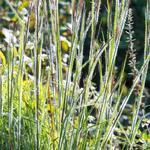 Schizachyrium scoparium 'Ha Ha Tonka' - Klein prairiegras - Schizachyrium scoparium 'Ha Ha Tonka'