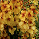 Verbascum 'Honey Dijon' - Toorts