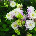 Aquilegia Vulgaris WINKY 'Double Rose-White' - Akelei - Aquilegia Vulgaris WINKY 'Double Rose-White'