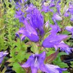 Campanula latifolia var. macrantha - Klokjesbloem, Breedbladklokje - Campanula latifolia var. macrantha