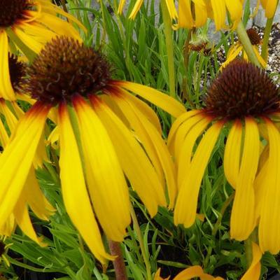 Echinacea paradoxa -