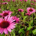 Echinacea purpurea 'Fatal Attraction' - Zonnehoed
