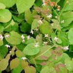 Elfenbloem - Epimedium pubigerum
