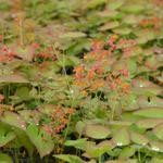 Epimedium pubigerum 'Orangekönigin' - Elfenbloem - Epimedium pubigerum 'Orangekönigin'