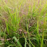 Eragrostis spectabilis - Eragrostis spectabilis - Liefdesgras