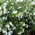 Erica carnea 'Springwood White' - Erica carnea 'Springwood White' - Winterheide