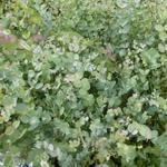 Eucalyptus gunnii 'Silbertrophen' - Eucalyptus gunnii 'Silbertrophen' - Koortsboom, Gomboom