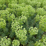 Euphorbia characias ssp wulfenii - Wolfsmelk - Euphorbia characias ssp wulfenii