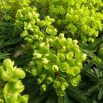 Euphorbia 'Redwing' - Wolfsmelk - Euphorbia 'Redwing'