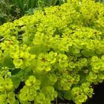 Euphorbia seguieriana subsp. niciciana - Wolfsmelk - Euphorbia seguieriana subsp. niciciana