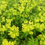 Euphorbia wallichii - Wolfsmelk - Euphorbia wallichii