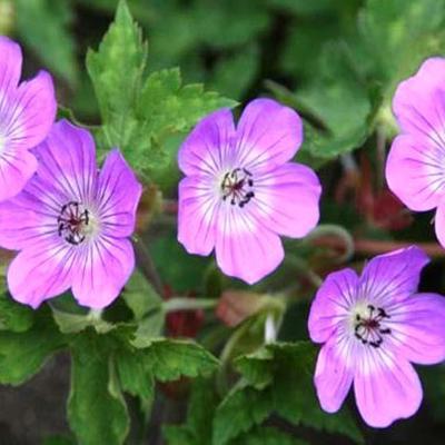 Geranium 'Sylvias Surprise' - Ooievaarsbek - Geranium 'Sylvias Surprise'