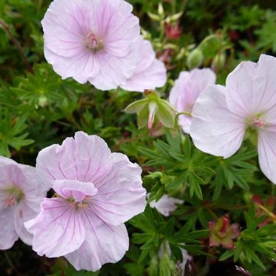Geranium sanguineum 'Apfelblüte' - Ooievaarsbek - Geranium sanguineum 'Apfelblüte'