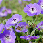 Geranium wallichianum CENSATION 'Daily Blue' - Ooievaarsbek