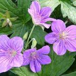 Geranium wlassovianum 'Crûg Farm' - Geranium wlassovianum 'Crûg Farm' - Ooievaarsbek
