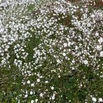 Gypsophila paniculata 'FESTIVAL White' - Gipskruid - Gypsophila paniculata 'FESTIVAL White'