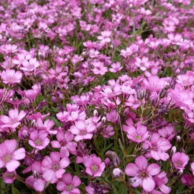 Gypsophila repens 'Rosa Schönheit' -