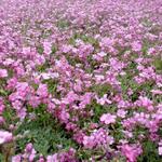 Gypsophila repens 'Rosea' - Kruipend gipskruid - Gypsophila repens 'Rosea'