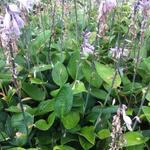 Hosta Fortunei 'Hyacinthina' - Hartlelie - Hosta Fortunei 'Hyacinthina'