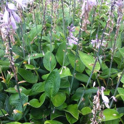 Hosta Fortunei 'Hyacinthina' -