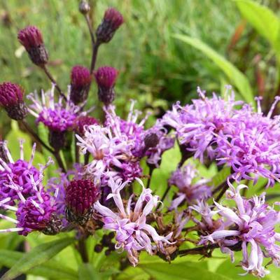 Vernonia crinita - Vernonia - Vernonia crinita