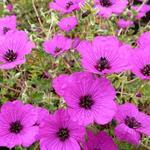 Geranium cinereum var. subcaulescens - Ooievaarsbek - Geranium cinereum var. subcaulescens