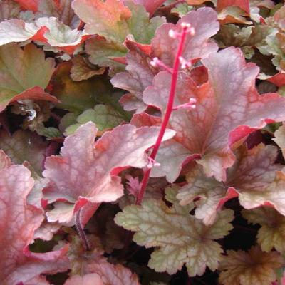 Heuchera 'Peach Flambé' -
