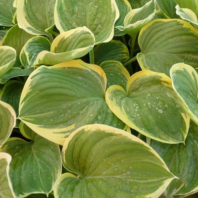 Hosta 'Clifford's Forest Fire' -