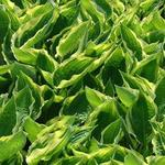 Hartlelie / funkia - Hosta 'Fisher Cream Edge'