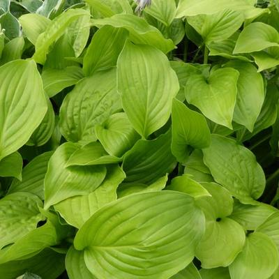 Hosta 'Hadspen White' -