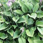 Hosta nigrescens - Hartlelie/Funkia