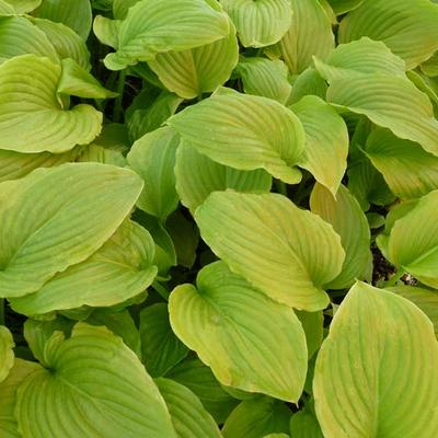Hosta plantaginea 'Aphrodite' -