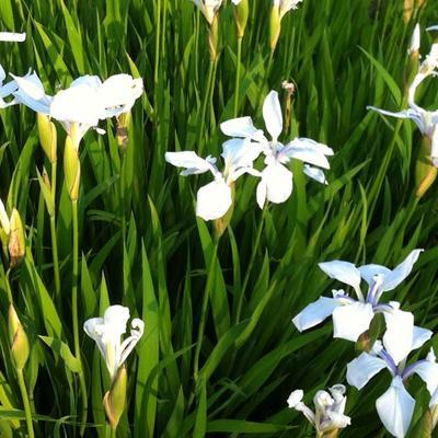 Iris laevigata 'Snowdrift' -