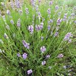 Lavandula angustifolia 'Bowles Early' - Lavandula angustifolia 'Bowles Early' - Lavendel