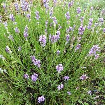 Lavandula angustifolia 'Bowles Early' -