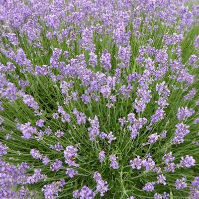Lavandula angustifolia  'Munstead' - Lavendel - Lavandula angustifolia  'Munstead'