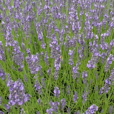 Lavandula x intermedia 'Arabian Nights' -
