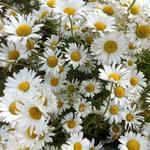 Leucanthemum vulgare 'Maikonigin' - Gewone margriet, Weidemargriet - Leucanthemum vulgare 'Maikonigin'