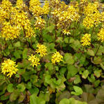 Ligularia x hessei 'Little Lantern'  - Kruiskruid