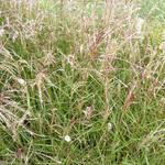 Prachtriet - Miscanthus sinensis 'Aperitif'