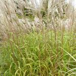 Miscanthus sinensis 'Blütenwunder' - Miscanthus sinensis 'Blütenwunder' - Prachtriet