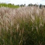Miscanthus sinensis 'Kleine Silberspinne' - Prachtriet - Miscanthus sinensis 'Kleine Silberspinne'