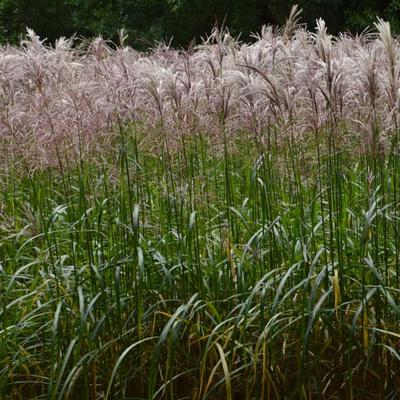 Miscanthus sinensis 'Malepartus' - Chinees Prachtriet - Miscanthus sinensis 'Malepartus'