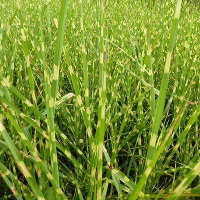 Miscanthus sinensis 'Strictus'          - Prachtriet - Miscanthus sinensis 'Strictus'