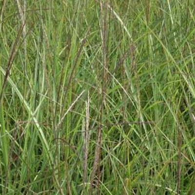 Miscanthus sinensis 'Vorläufer' -